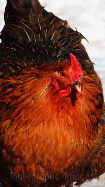 Egg Producer; Rictographs images