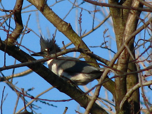 A male belted kingfisher (Megaceryle alcyon) hiding in tree limbs (20080114_01128)