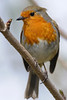 Robin<br /> Hyde Park, London, England