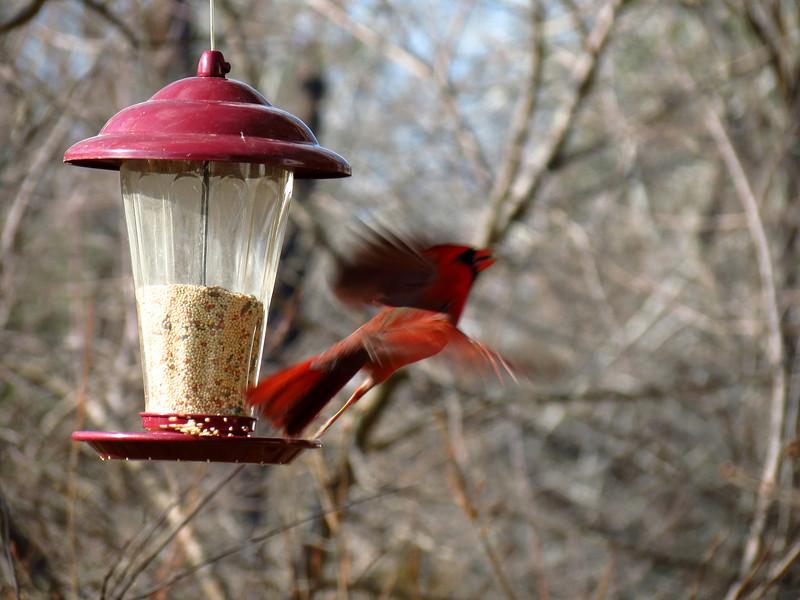 Cardinal taking flight.