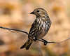 South Llano Sparrow