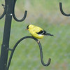 An American Goldfinch (Spinus tristis) in breeding plumage.