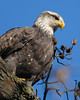 Bald Eagle<br /> near Conowingo Dam<br /> Susquehanna River, Maryland<br /> November 2008