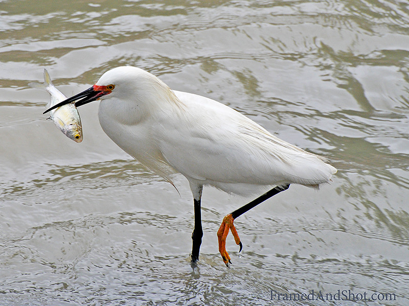 "<strong><center>Fish for dinner</center></strong> The Snowy Egret [<span class=""taxonlinksp"">Egretta thula</span>] is a medium-sized heron with a delicate build. Adult egrets generally measure between 56 to 66 cm and have a wingspan of approximately 100 cm. On average 370 g in weight and the males tend to be slightly larger than the females."