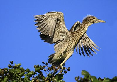 Jump Start ~  Black-crowned Night Heron fledgling