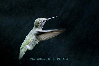 Black Chinned Hummingbird, Fox Island, WA