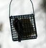 Downy woodpecker, he has been here almost every day.