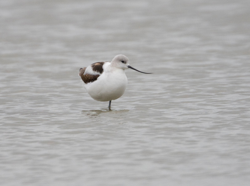 American Avocet - Cullen Park, Toledo, Ohio - November 2009<br /> A nice find for the Toledo area.