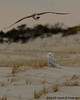 Snowy owl & harrassing gull<br /> Assateague National Seashore, Maryland<br /> December 2008