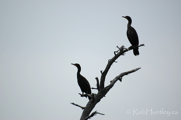 Cormorants in the Muskokas, Ontario.  © Rob Huntley