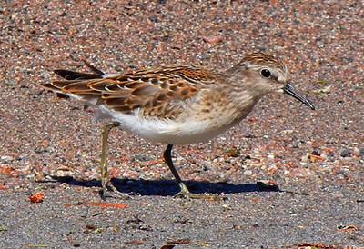 Shore Bird Looking For Food