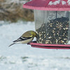 An American Goldfinch, still in winter plumage, at the feeder. There was at least 12 of them this same morning.