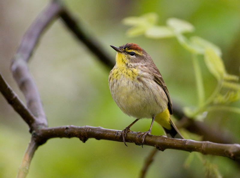Palm Warbler - May 2008 - Magee Marsh