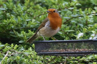 Robin is a regular visitor to our feeder.  There was a mouse earlier but he/she departed before I could get into position