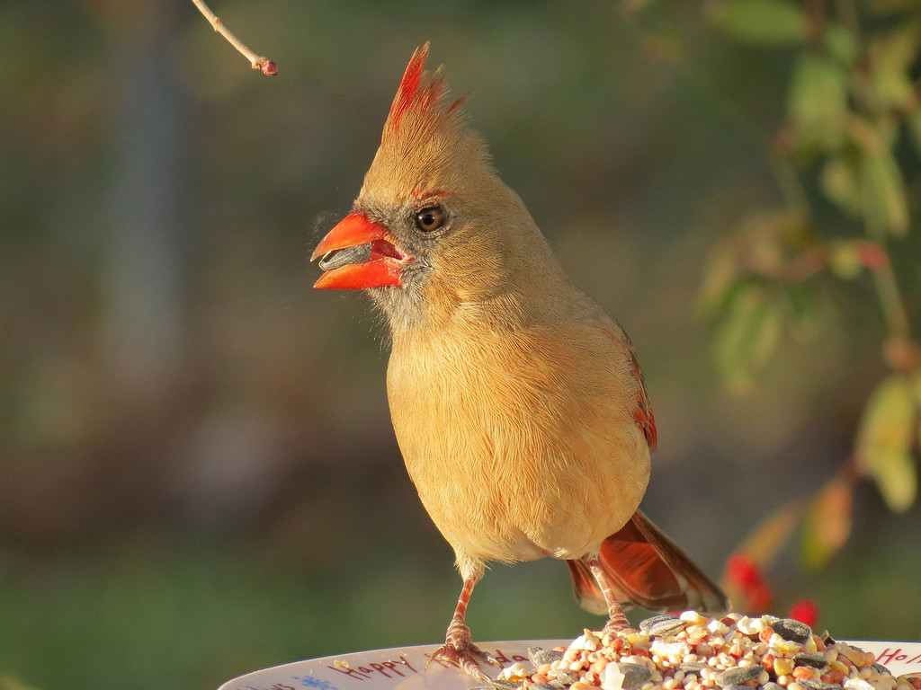 Cardinal eating sunflower seeds in the last rays of the setting sun.