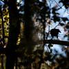 Fish Crow (Corvus ossifragus)<br /> Marrero, Louisiana, USA<br /> IUCN Status: Least Concern
