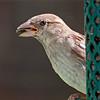 House Finch female, 8/6/10.