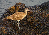 Whimbrel Numenius phaeopus