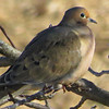 Mourning Dove 2013