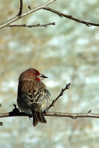 Housefinch with a mouthful