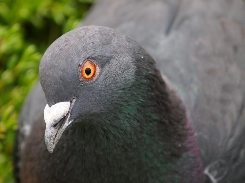 Rock Dove at Bolsa Chica Reserve - 19 Mar 2011