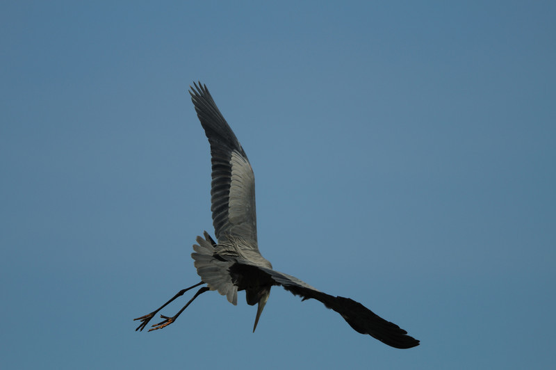 Great Blue Heron diving for fish<br /> Pohick Bay, Virginia