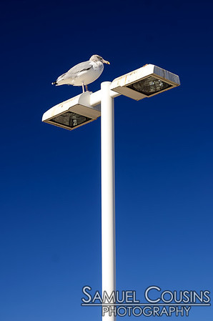 An immature gull perched on a streetlight.
