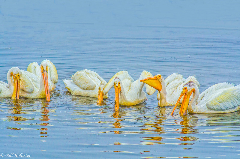 White Pelicans at Bodega Bay 6-1-14 #10