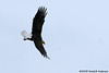 Bald Eagle soaring near the nest,<br /> Potomac River,<br /> Alexandria, Virginia<br /> February 2009