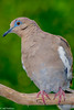 White-winged Dove #4 - Copy