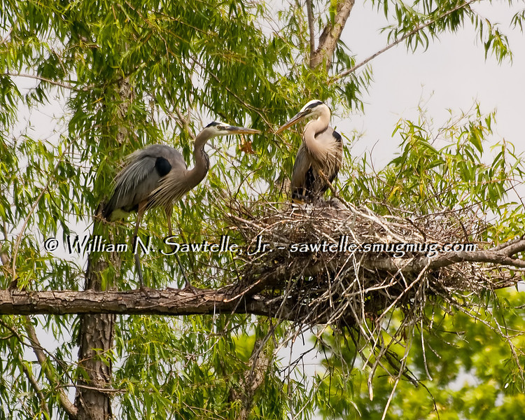 Great Blue Herons nesting at Lichterman Nature Center; Memphis, Tennessee