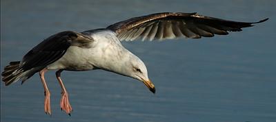 landing gull