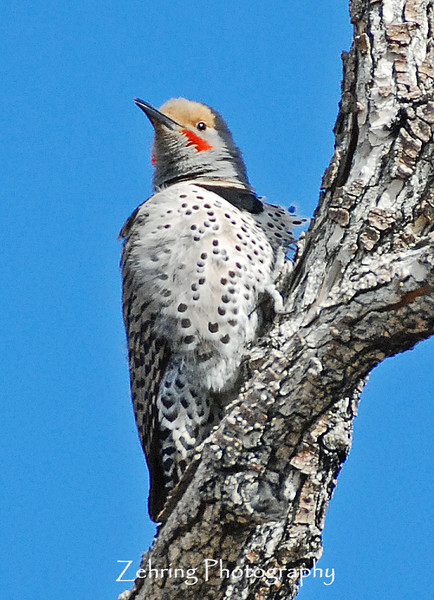 Tapping off and on as he perches on this branch a male flicker woodpecker establishes his territory.
