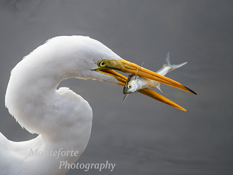 Great White Egret, Ardea alba, with Sardine, Sardina pilchardus,  Monterey Ca.