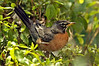 American Robin, Rockville, Maryland