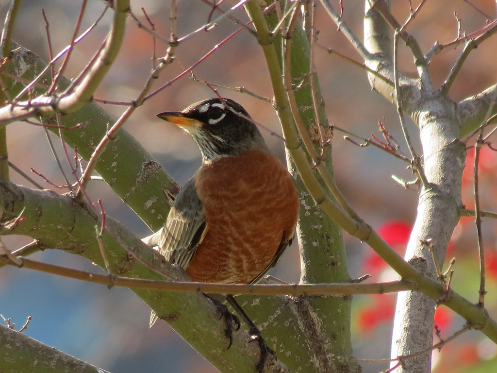 Robin in the Japanese Maple tree.