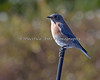 Western Bluebird on the Cañada College Campus, Redwood City, CA (Sialia mexicana).  This Bluebird is using a car antenna as a convenient perch.