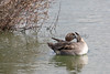 Northern Pintail doing a little preening. (Anas acuta)
