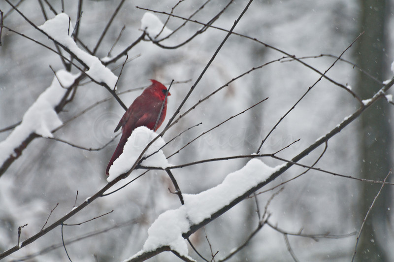 Winter Male Cardinal Backyard shot