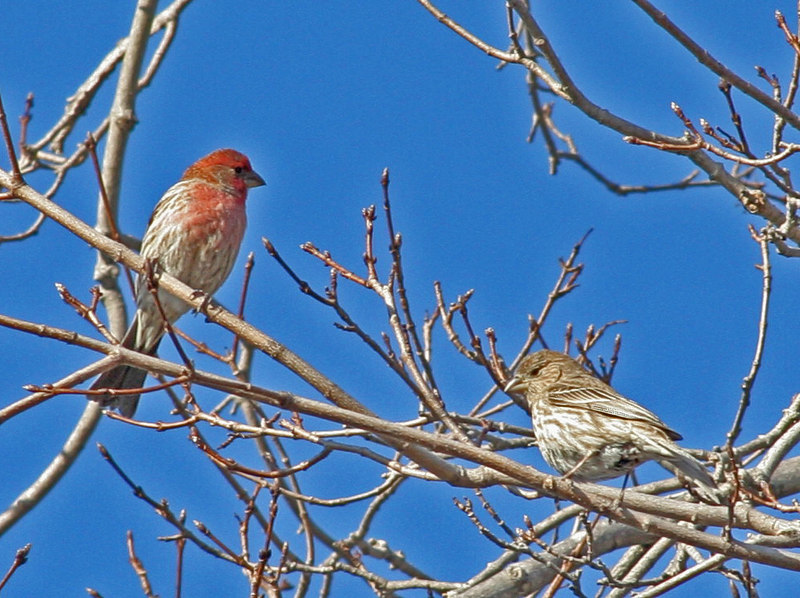 Pair of House Finches<br /> <br /> © WEOttinger, The Wildflower Hunter - All rights reserved<br /> For educational use only - this image, or derivative works, can not be used, published, distributed or sold without written permission of the owner.