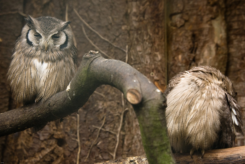 Two sleepy owls perched on a branch Pity it was such an overcast day