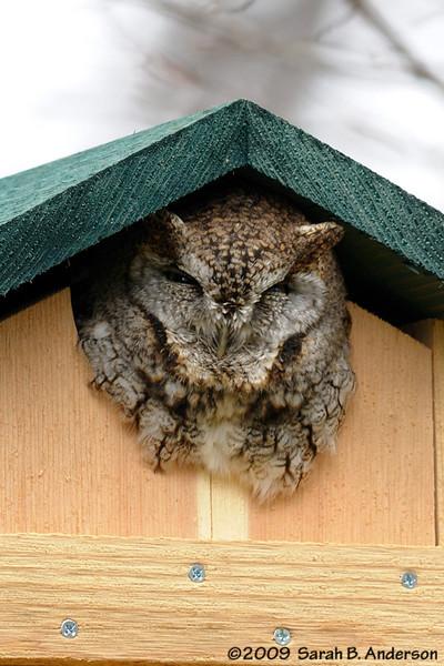 Eastern Screech Owl<br /> <br /> Fairfax County, Virginia<br /> March 2009