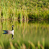 Goose on the Pond