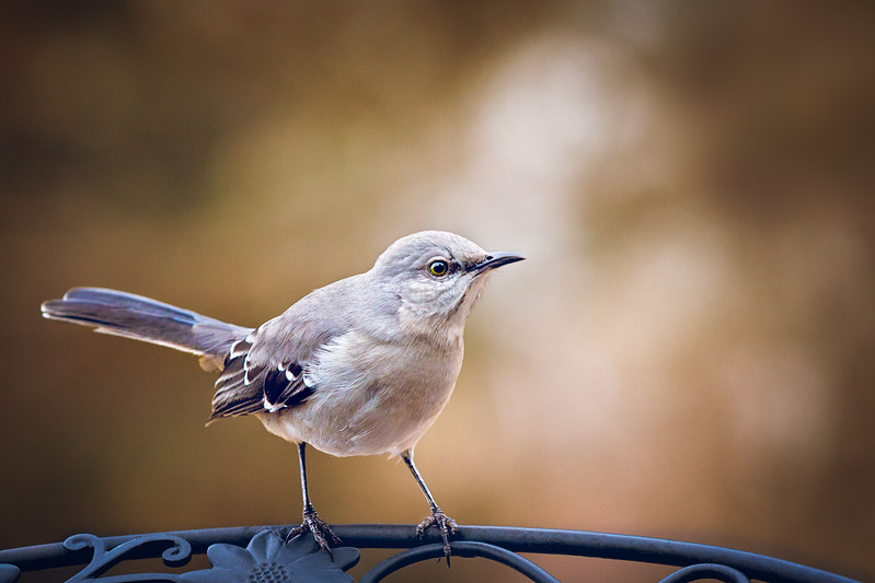 February 2018  St. Louis Mockingbird