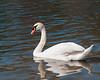 Mute Swan, Toronto