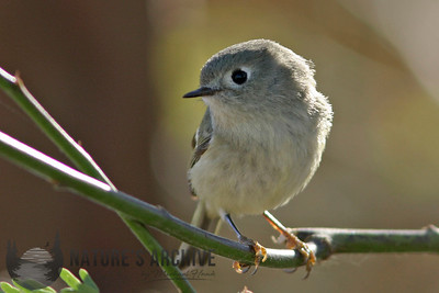 Ruby-crowned Kinglet, Gilbert, AZ