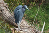 Little Blue Heron, Orlando, Florida