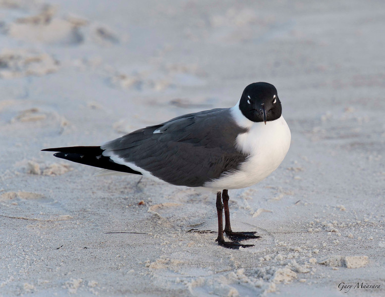 A Laughing Gull but it looks a bit sleepy to me in this dawn photo.