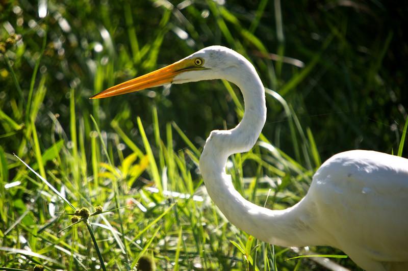 Great Egret (Casmerodius albus)<br /> Marrero, Louisiana, USA<br /> IUCN Status: Least Concern