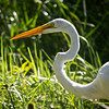 Great Egret (Casmerodius albus)<br /> Marrero, Louisiana, USA<br /> IUCN Status: Least Concern